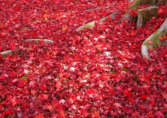 京都 嵐山 紅葉 状況