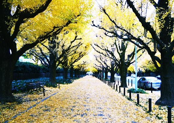 東京の紅葉なら明治神宮!銀杏の見頃と外苑いちょう並木