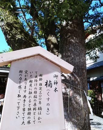 清明神社の御神木の楠